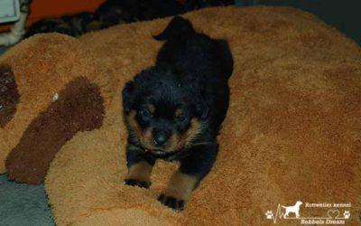 Puppy's van Niki en River beginnen aan hun 4de week.